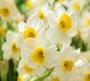 Отдушка косметическая Нарцисс 15 мл