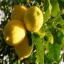 Выгодная цена Эфирное масло Лимон 50 мл