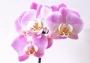 Отдушка Орхидея парфюм премиум 30 мл